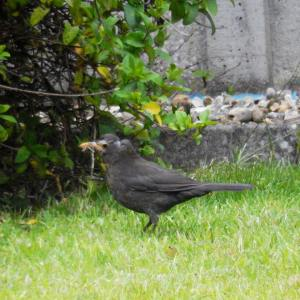 Bald female blackbird. Poor little thing