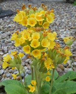 Last of the cowslips