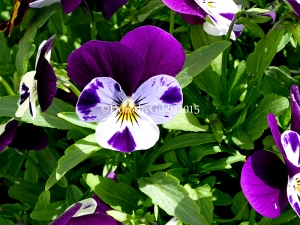Self setting violas