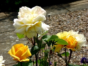 Yellow roses In the front garden. I love the way these start off such a deep golden colour then fade to pale lemon, tinged with pink.
