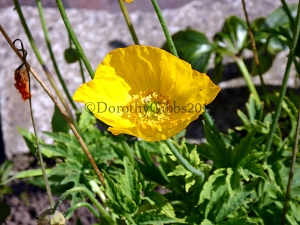 Another yellow poppty