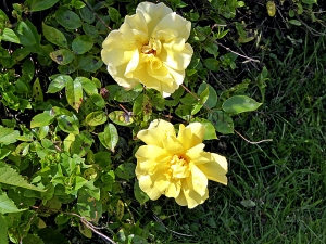 Yellow rose. No idea of it's name.