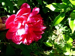 Peony It was so heavy I had to hold it's head up to take the photograph!