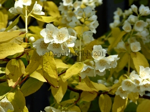 Philadelphus Mock ornage blossom. the leaves lose this citrus colour as they age