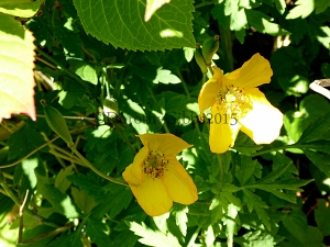 Yellow poppies.  I don't know the name... think they are called welsh poppies/?