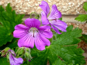 Herbaceous Perrenial Geranium I also bought a darker one