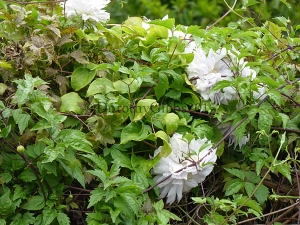 Lovely very double clematis that was hiding in another one which flowers later.