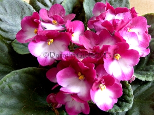 African Violet I haven't seen this one before