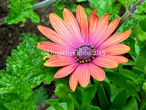 Love the colours in this which is in a pot with verbina